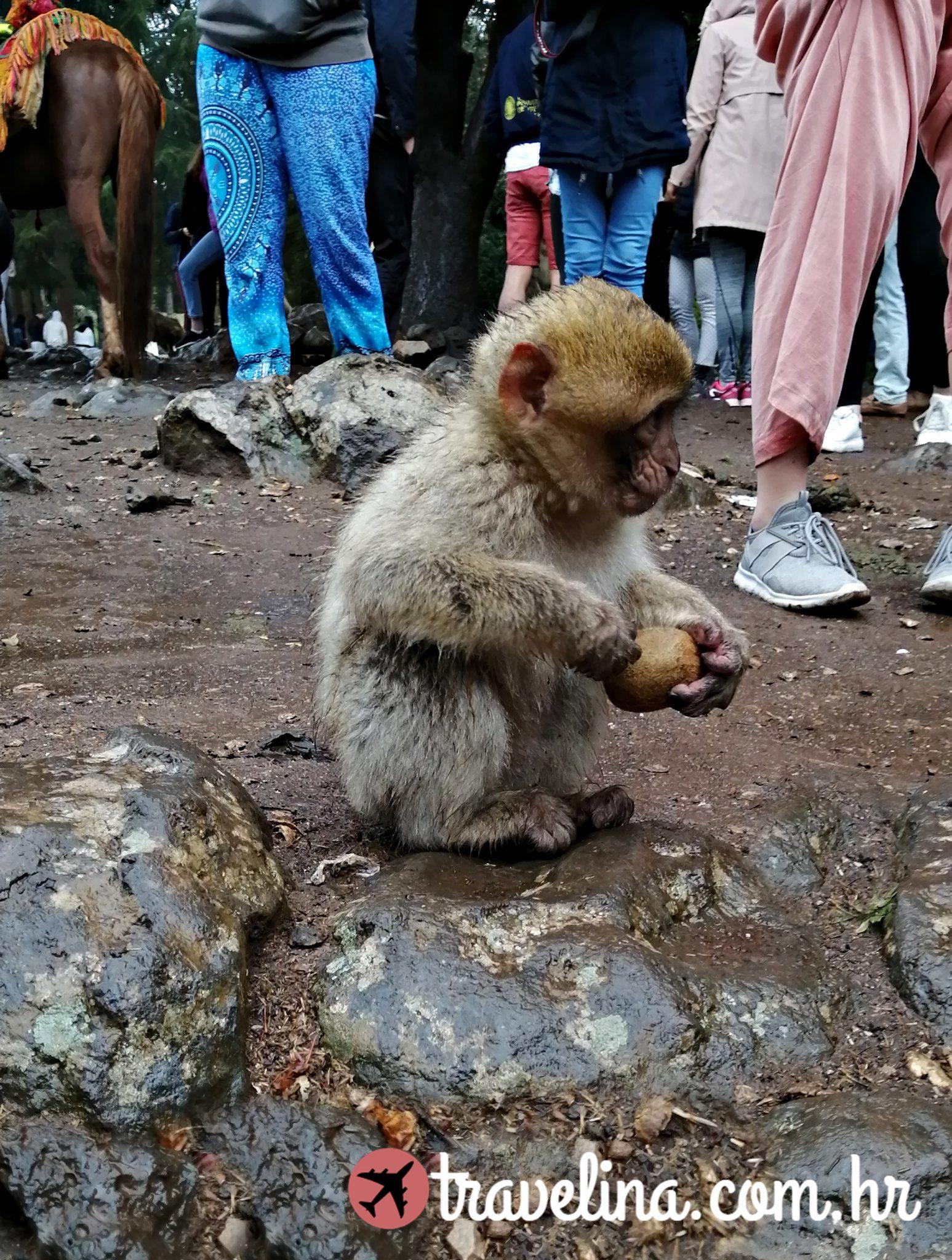 Azrou (Maroko) Makaki beba majmun
