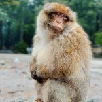 Azrou (Maroko) Makaki majmun